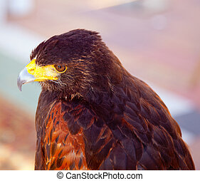 Aquila nipalensis steppe eagle profile in golden sunset...