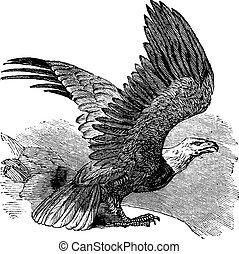 aquila, vendemmia, calvo, (haliaeetus, leucocephalus), engraving.