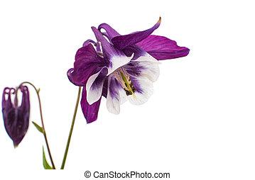 aquilegia flower isolated on white background