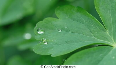Aquilegia leaf with raindrops - Aquilegia leaf with water...
