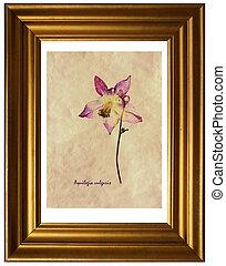 Aquilegia vulgaris in herbarium - Herbarium from pressed and...