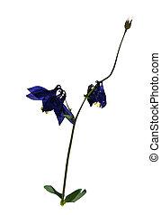 Aquilegia vulgaris in herbarium - Pressed and dried flowers ...