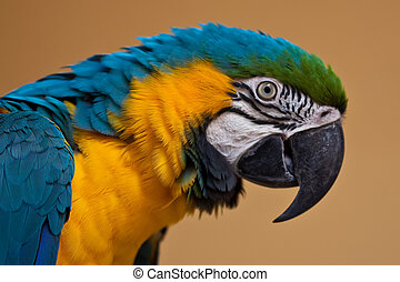 Blue and yellow Macaw Ara ararauna parrot
