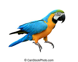 Ara ararauna. Blue-yellow macaw parrot. Isolated on the white