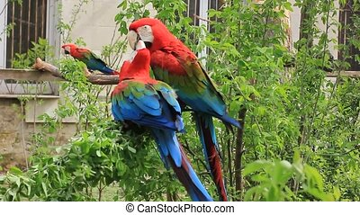 Ara chloropterus (red-and-green macaw). Colorful parrot in...