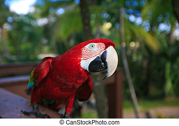 Ara Macao. exotic parrot with red feathers - Ara Macao. ...