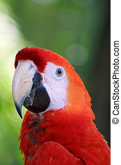 ara., macaw, papegøje