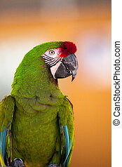 ara., militaris, macaw, fugl, militær