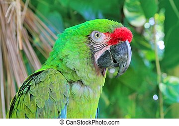Ara Militaris Military Macaw Green parrot South and Central ...