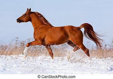 arab bygelhäst, kör, in, vinter