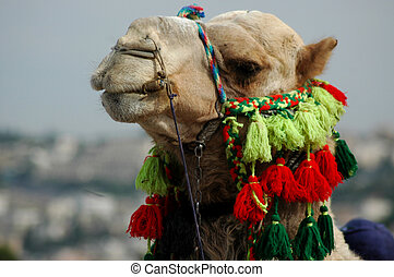 Arab Camel - An arab\\\'s camel smiles at the viewer in a...
