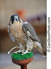 arab falcon bird - arabic bird falcon predator with sharp ...