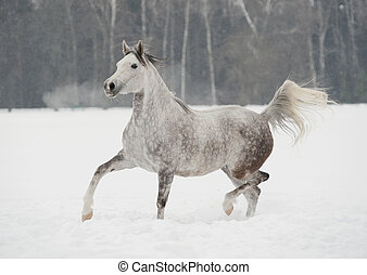 arab horse in winter