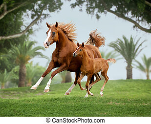 arab horse mare with foal out at grass with palms background...