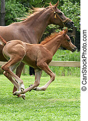 arab thoroughbred horse running with her foal