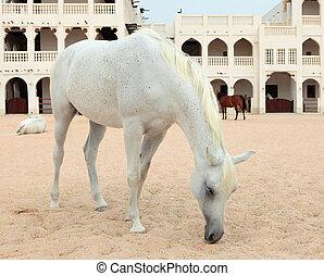 Arab horses in Doha, Qatar