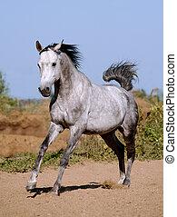 arab stallion running