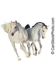 arabe, deux, chevaux