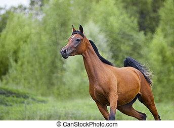araber, aktiv, pferd, frei, bucht