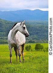 araber, graue , pferd