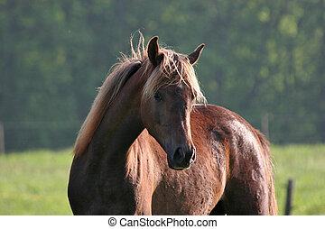 araber, pferd