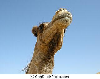 Arabian camel (Camelus dromedariu - Found all over the...