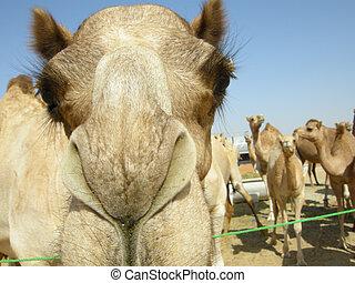 Arabian camel (Camelus dromedarius) - Found all over the...