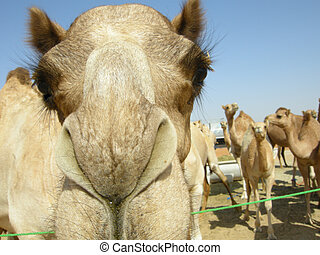 Arabian camel (Camelus dromedarius) - Found all over the...
