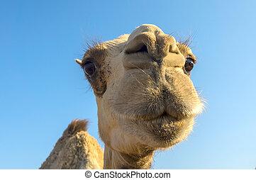 Arabian camel or Dromedary (Camelus dromedarius) in the...