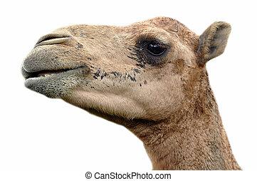 Arabian camel - The dromedary or Arabian camel has a single...