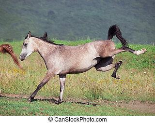 arabian filly in motion
