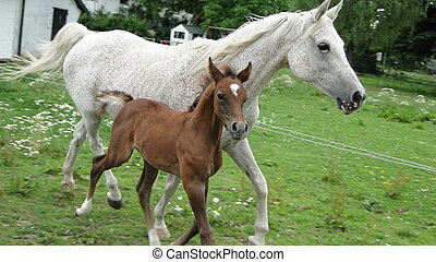 arabian foal and mother running