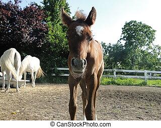 arabian foal coming very close