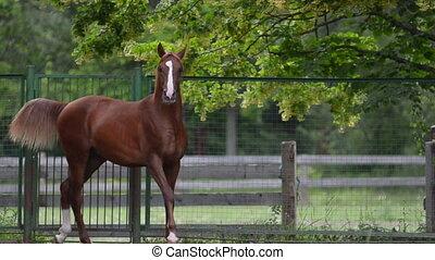 Arabian foal in forest