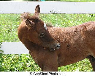 Arabian foal schratching itsself