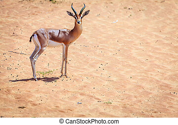 Arabian Gazelle in the Desert Conservaion Reserve near...