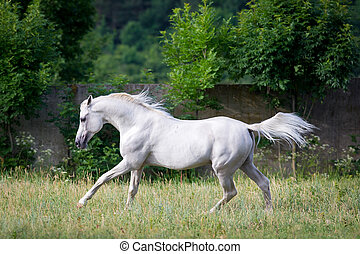 Arabian gray horse runs across the field.