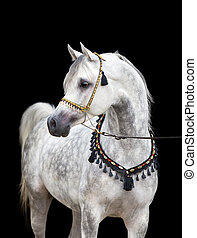 Arabian gray horse on black