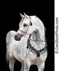 Arabian gray horse on black