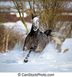 Arabian horse gallops in winter