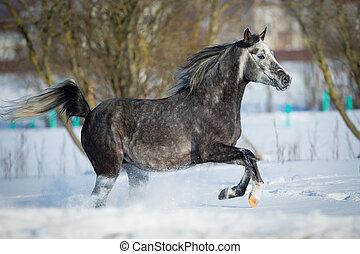 Arabian horse gallops in winter