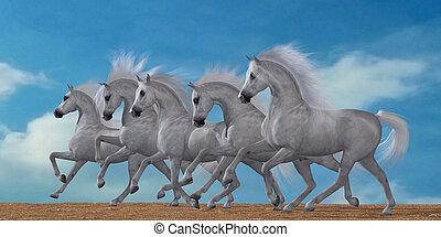 Arabian Horse Herd - A herd of beautiful white Arabian...