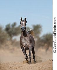 arabian horse in prairies - Young gray purebred arabian...