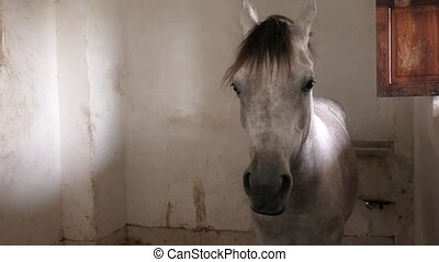 Arabian horse in stable - white Arabian horse resting in...