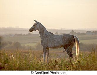 arabian horse in sunset