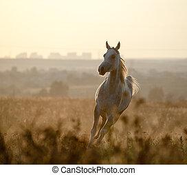 Arabian horse in sunset