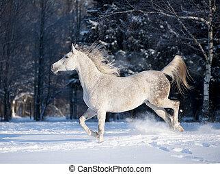 arabian horse in winter field