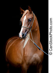 Arabian horse isolated on black