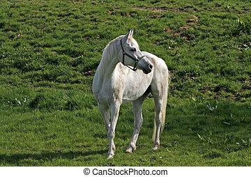 Arabian horse, Lower Saxony, German