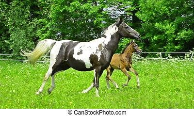 arabian horse mare and foal gallop - proud arabian horse...